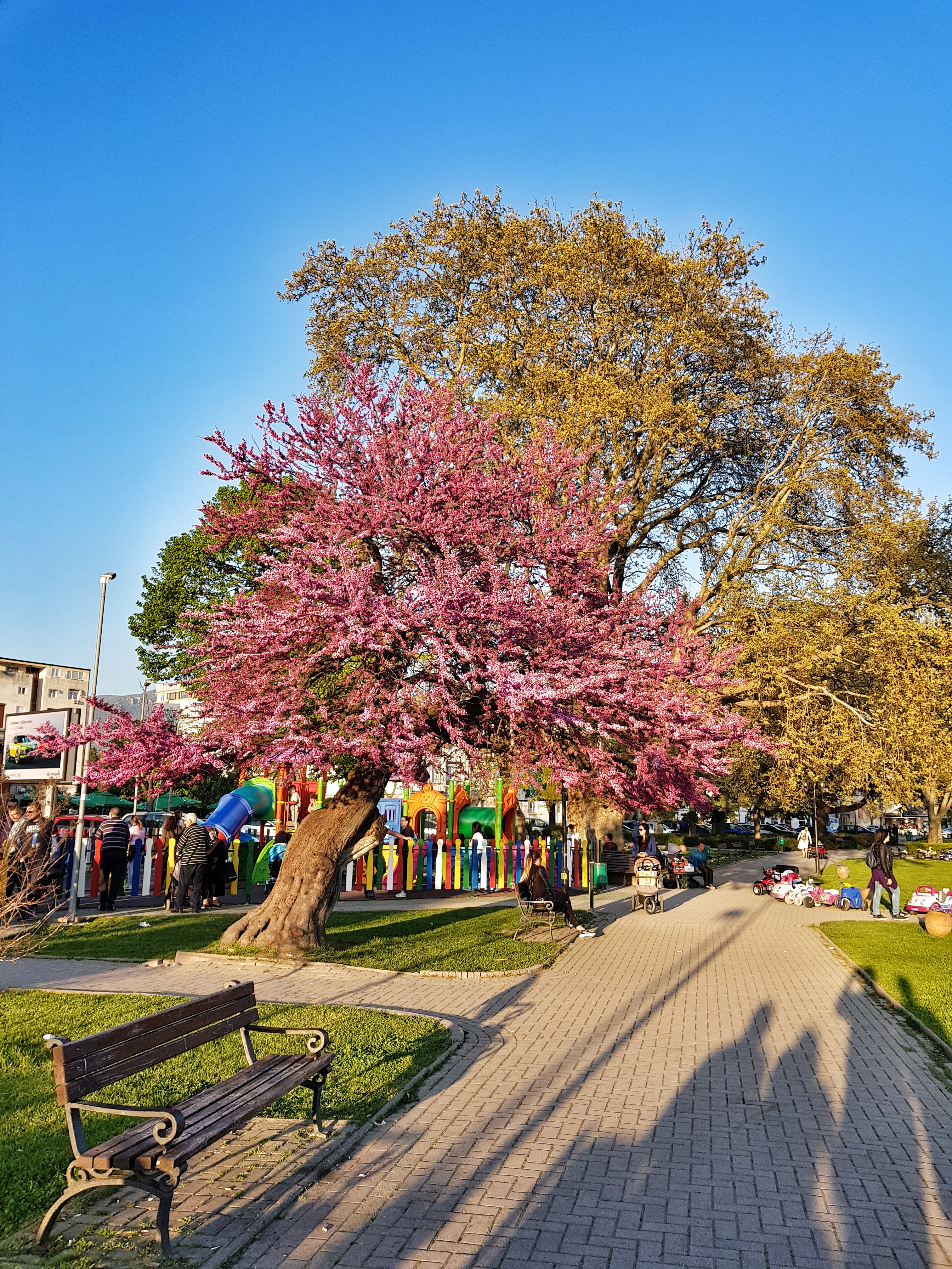pink_tree_ohrid